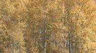 Golden Aspen trees M HD Stock Footage