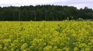 Field of rapeseed plants near road  Stock Footage