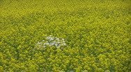 Daisy island in rapeseed field 2  Stock Footage