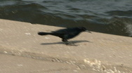 Crow By The Ocean Stock Footage