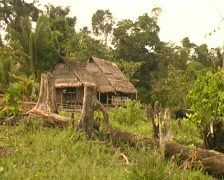 Colonist farmstead in a rainforest clearing Stock Footage