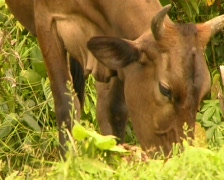 Zebu cow in a rainforest clearing Stock Footage