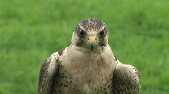 HD1080i Falcon (Close up) Stock Footage