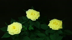 HD1080p Timelapse of three yellow rose growing Stock Footage