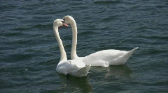 Two swans w/ graceful neck movement.  Stock Footage