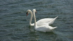 Swan couple does everything together.  Stock Footage