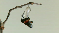 Monarch Butterfly Emerges from Chrysalis TIMELAPSE Stock Footage