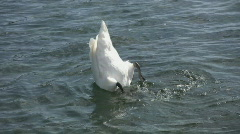 Dunking swan.  Stock Footage