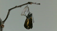 Monarch Butterfly Emerges from Chrysalis REAL TIME (5 of 8) Stock Footage