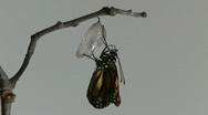 Stock Video Footage of Monarch Butterfly Emerges from Chrysalis REAL TIME (5 of 8)