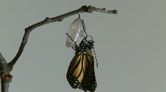 Monarch Butterfly Emerges from Chrysalis REAL TIME (6 of 8) Stock Footage