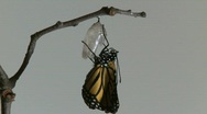 Stock Video Footage of Monarch Butterfly Emerges from Chrysalis REAL TIME (6 of 8)
