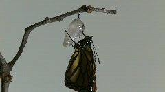 Monarch Butterfly Emerges from Chrysalis REAL TIME (7 of 8) Stock Footage