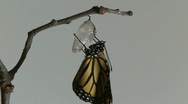 Stock Video Footage of Monarch Butterfly Emerges from Chrysalis REAL TIME (7 of 8)