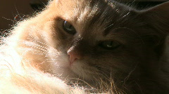 Cat Resting (3 of 3) Stock Footage