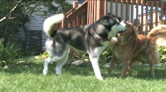 Dogs Playing Stock Footage