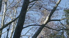 Branches of platan in winter Stock Footage