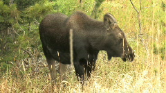 Baby Moose - stock footage