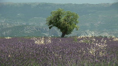 HD1080i Lavender field in Provence. France Stock Footage