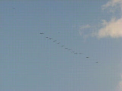 Cranes landing for night sleep at Hula Lake Stock Footage