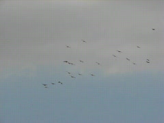 Pelicans landing for night sleep at Hula Lake Stock Footage