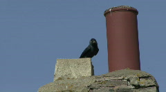 Jackdaw leaves nest in chimney 2 - stock footage