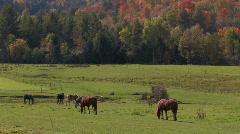 Horses Graze in Pasture Stock Footage