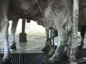 Cow milking in Dairy Stock Footage