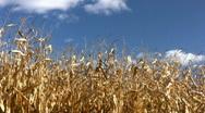 Dried Corn Stock Footage