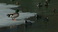 Stock Video Footage of HD1080i Ducks on partly frozen lake