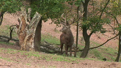 HD1080i Male Red Deer with big antler Stock Footage