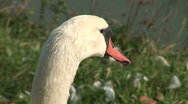 Stock Video Footage of HD1080i Swan (Close Up)