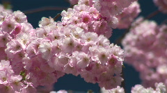 HD1080i Spring cherry tree (Close Up) Stock Footage