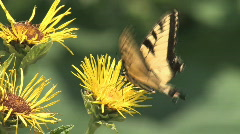 Butterfly on yellow flower - stock footage