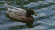 Stock Video Footage of HD1080i Swimming Duck in the pond