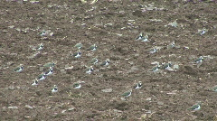 Lapwings stand on newly ploughed field Stock Footage