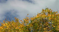 Fall color tree Stock Footage