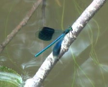 Damselflies Stock Footage