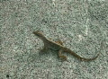 Slow Motion Lizard Running 01 Footage