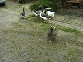Stock Video Footage of Farm Geese attacking camera in the garden (Sound)