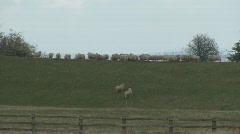 Sheep run and jump along skyline Stock Footage