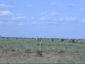 Stock Video Footage of Africa Driving Along Running Ostrich