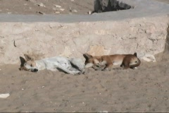 Egypt Dogs at the Step Pyramid Stock Footage