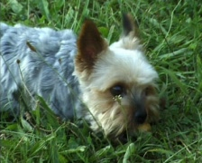 Little sweet dog with a piece of bread. Stock Footage