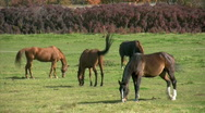 Horses Grazing in pasture Stock Footage