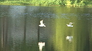 Seagull In Flight Aiming For Fish Stock Footage