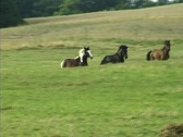 Black and brown horses herd running in a field. Stock Footage