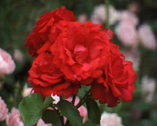 Red Rose in the garden (Close Up) Stock Footage