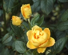 Yellow Rose in the garden (Close Up) Stock Footage