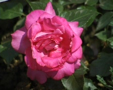 Pink Rose in the garden (Close Up) Stock Footage